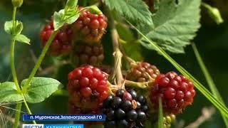 В Калининградской области побили рекорд по урожаю ягод