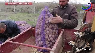 В Магарамкентском районе выращивают ранние сорта картофеля для Ленинградской области