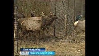 Благородных оленей выпустили на свободу