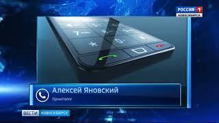 Новосибирцы сняли на видео самого большого дятла Сибири