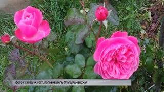 Жители Рыбинска делятся в соцсетях снимками расцветающих в октябре роз