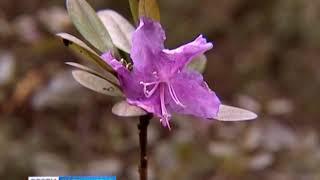 В Ботаническом саду расцвёл рододендрон