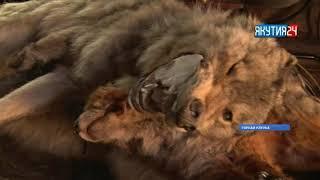 Горнайга 70-чалаах булчут быйыл түөрт адьырҕа кыылы бултаата