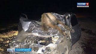 Водитель наехал на табун лошадей на трассе в Башкирии
