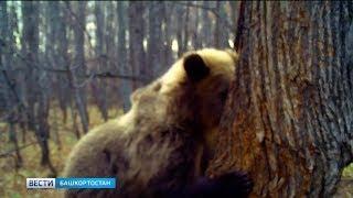 В нацпарке «Башкирия» сняли на видео, как медведь ворует мед