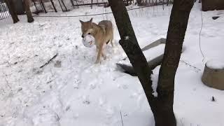 В зоопарке Ростова волчица Альма показала, как надо играть в футбол