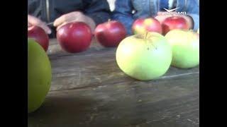 Новинки зимних сортов яблок. Удачные заметки