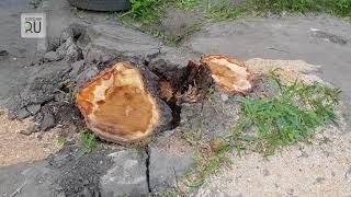 Есть кому березу заломати! Продолжение истории об упавшем дереве
