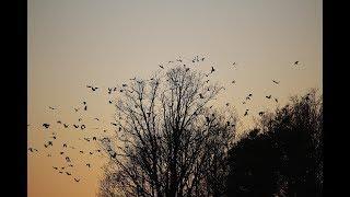 Батайский парк Авиаторов оккупировали полчища ворон
