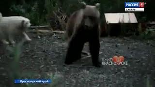 Гуляющие по улицам медведи продолжают держать в страхе жителей Норильска