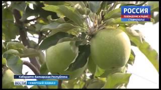Чегемские яблоки ждут по всей стране