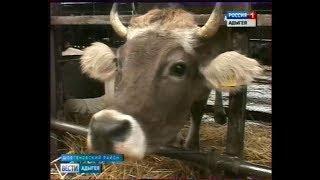 На животноводческих фермах готовятся к отелу крупного рогатого скота