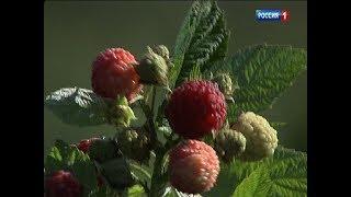 На Дону начали выращивать крымские ягоды