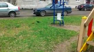 Очевидцы сняли на видео драку галки и крысы