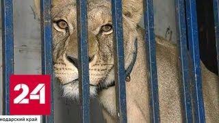 Цирк закрыт: львица на арене устроила охоту на ребенка - Россия 24