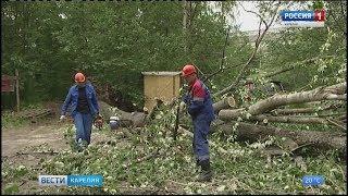 Очередной упавший тополь в Петрозаводске