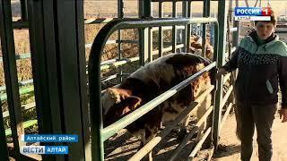 Фермеры из соседних регионов скупают алтайских коров целыми стадами