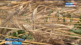 На полях республики продолжается жатва - Вести Марий Эл