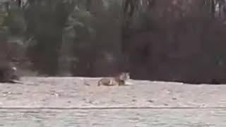 тигр на реке Бикин ведет себя странно октябрь 2018