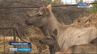 В Новосибирской области начнут делать пантовые ванны