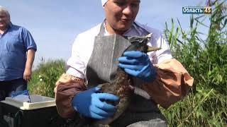 В Курганской области пернатых проверили на птичий грипп