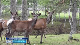В Бурзянском районе ожидается пополнение потомства в стаде маралов