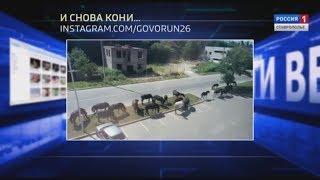 Вести в сети #273. Кабаны - в Ставрополе, лошади - в Кисловодске. И все это под звуки шарманки