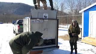 спасение раненой в Хабаровском крае тигрицы