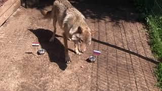 Россия - Египет: кого волчица Шива объела в этот раз