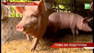На пороге республики - африканская чума свиней | ТНВ