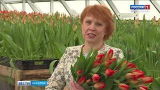 Тысячи тюльпанов вырастили в Петрозаводске к 8 марта