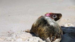 Тюлени возвращаются в Балтийское море