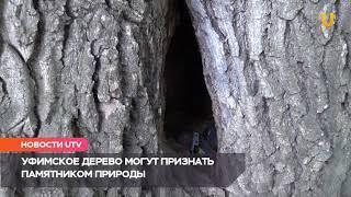 UTV. Московские ученые обследуют уникальный уфимский дуб