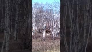 «Вот красавец какой!»: на Камчатке медведь вышел к оживленной трассе