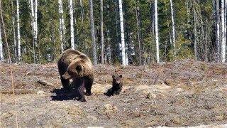 Югорчане прикормили медведицу с тремя медвежатами