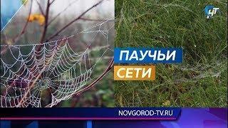 Окрестности Великого Новгорода опутала паутина