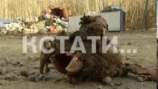 Свинское отношение - стихийный скотомогильник обнаружен в Лысковском районе