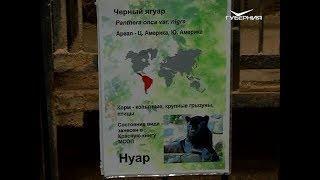 В Самарском зоопарке отметили День рождения ягуара