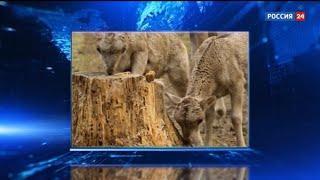 В Новосибирском зоопарке родились лосята