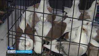 В Уфу съехались голубеводы со всего ПФО