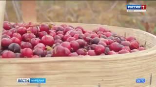 Карелия лидирует в стране по экспорту клюквенного сока