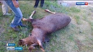 Жители Бийска обнаружили на детской площадке мёртвого лося