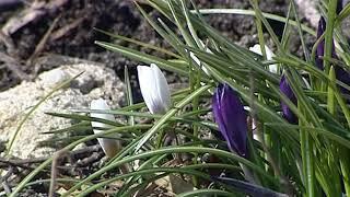 В Ярославле распустились первые цветы