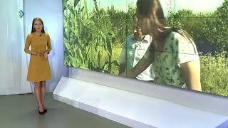Кукуруза в Коми не дошла до молочной спелости