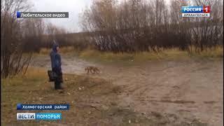 В Холмогорском районе дикая лиса вышла к людям