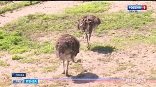 В Пензенском зоопарке страус эму напал на человека