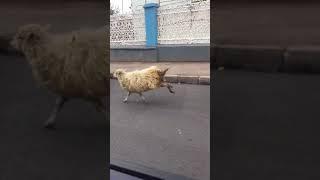 Овцы на ул. Промышленной (Ижевск)