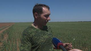 Волгоградские аграрии обеспокоены состоянием озимых