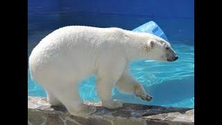Ростовская белая медведица Комета переезжает в большой дом для создания семьи