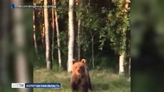 Вологодские автомобилисты на трассе накормили медведя пиццей